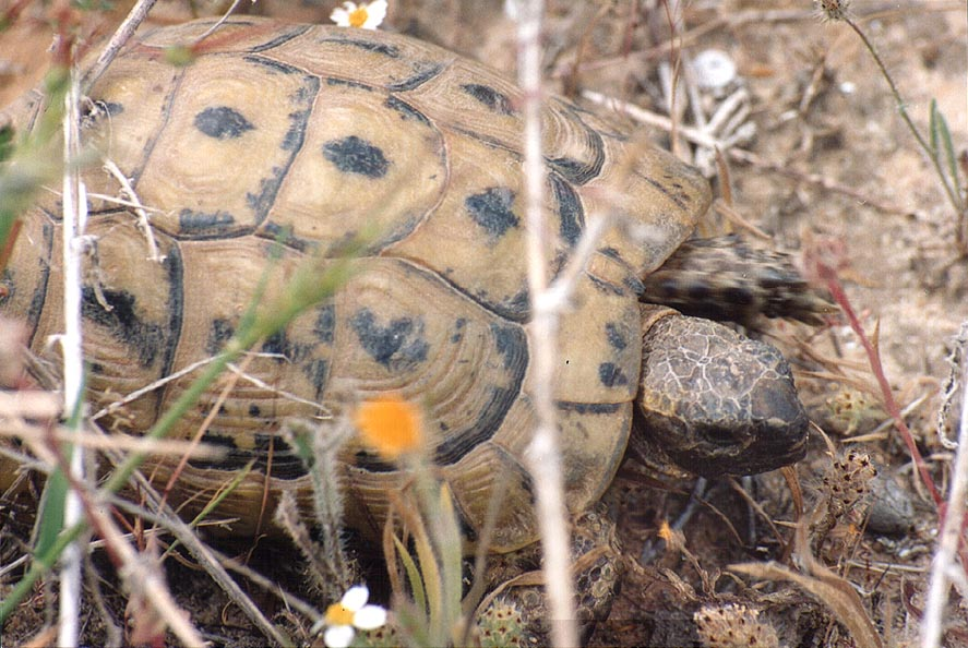 A turtle in western Beeri Reserve, 3 miles north from Gaza city. The Middle East