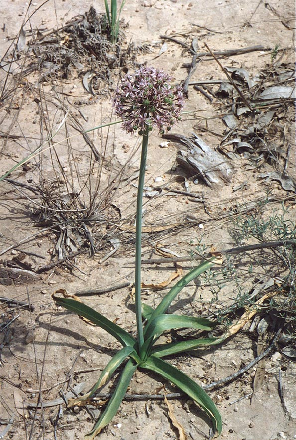 Garlic flowers west from Beeri Reserve, 3 miles north from Gaza city. The Middle East