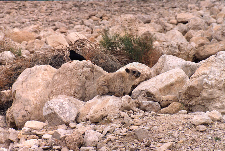 Hyrax (rock badger), near a road in upper Ein Gedi. The Middle East