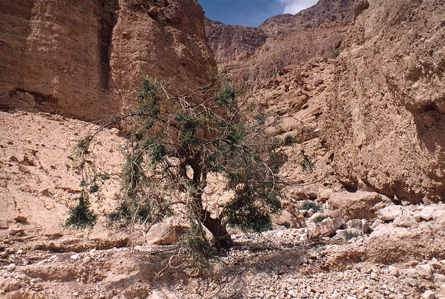 A wild plum tree at Nahal Arugot river in Ein Gedi park. The Middle East