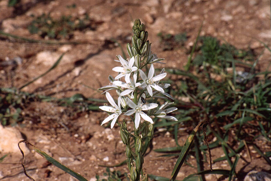 A spring flower at the descent from memorial hill...west from Jerusalem. The Middle East