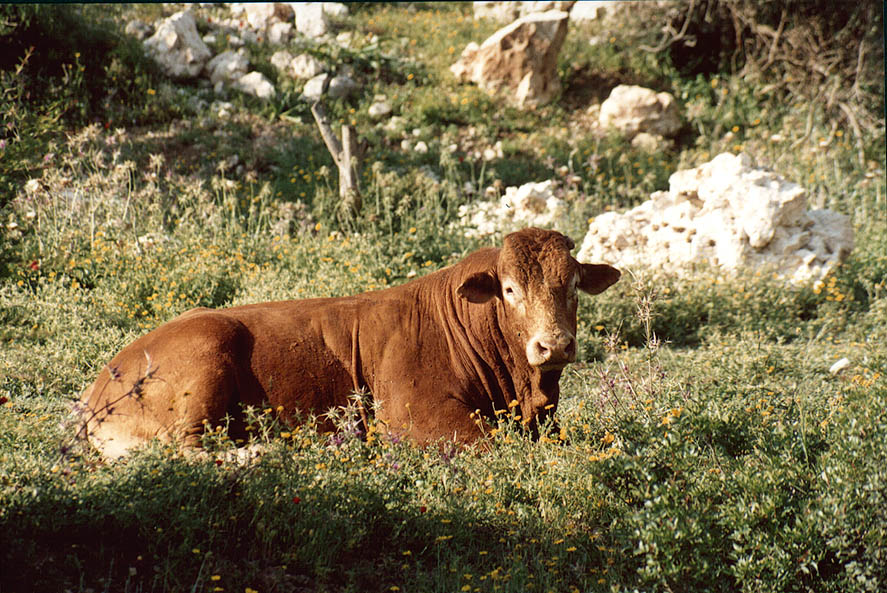 A cow east from Tirat Carmel near Haifa. The Middle East