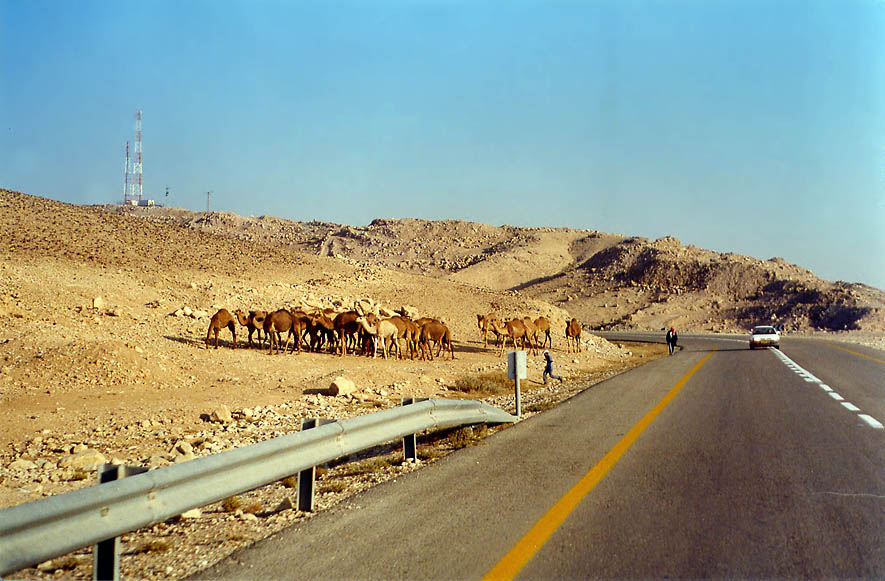Bedouin camels from a road descending from Arad to Neve Zohar on Dead Sea. The Middle East