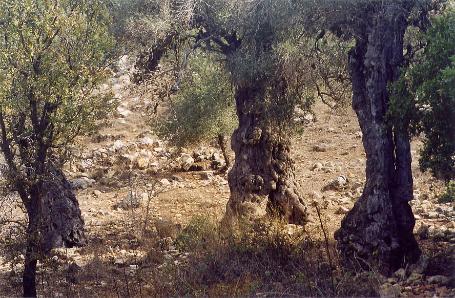 Olives on a slope of Mount Meron in Galilee. The Middle East