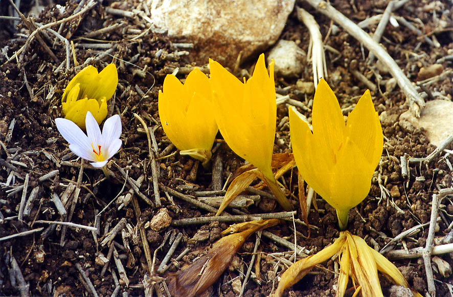 Yellow Sternbergia and Colchicum flower below the...Meron in Galilee. The Middle East