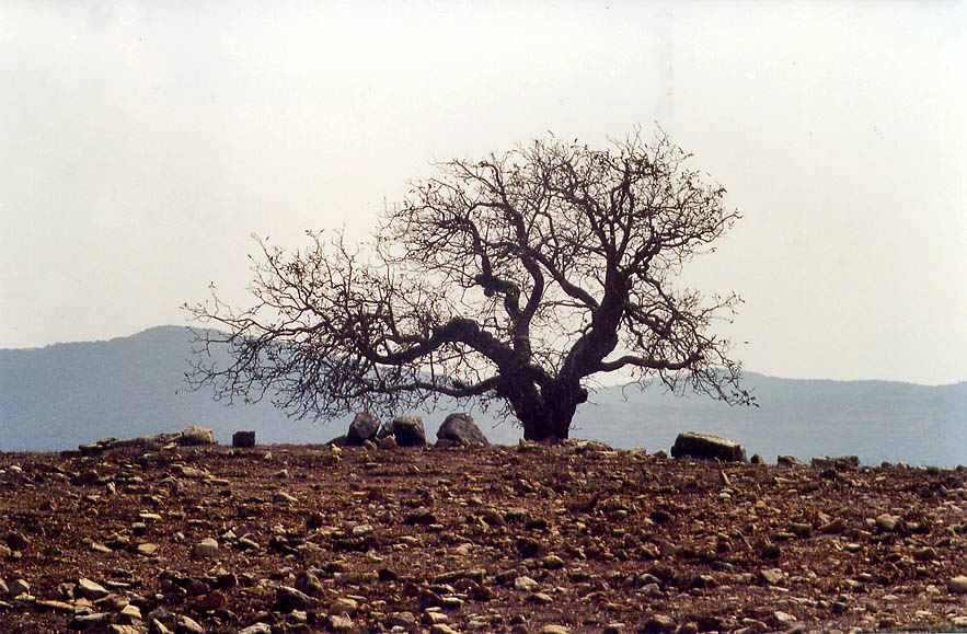 A walnut tree among ruins of Druze village of...Meron in Galilee. The Middle East