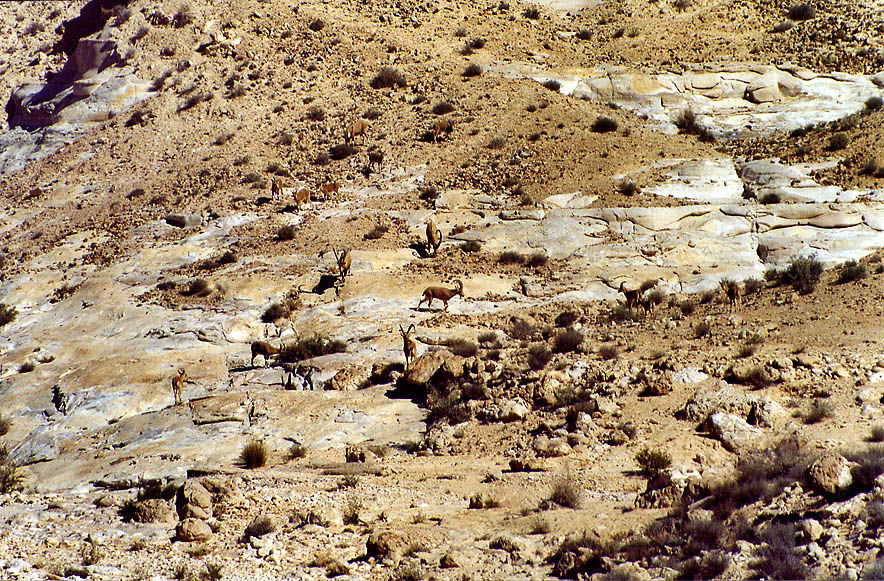 Ibexes in Nahal Akev wadi, 2.5 miles east from Avdat. The Middle East