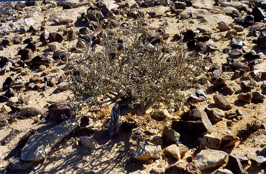 Flint stones and a plant of a plateau of Negev...College at Sde Boker. The Middle East