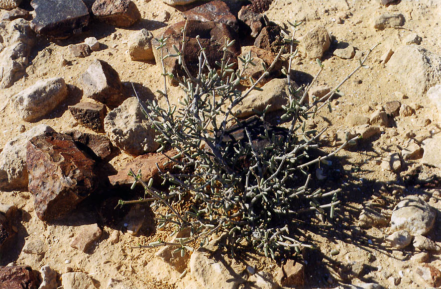 A plant on a plateau of Negev desert 1.5 miles...College at Sde Boker. The Middle East