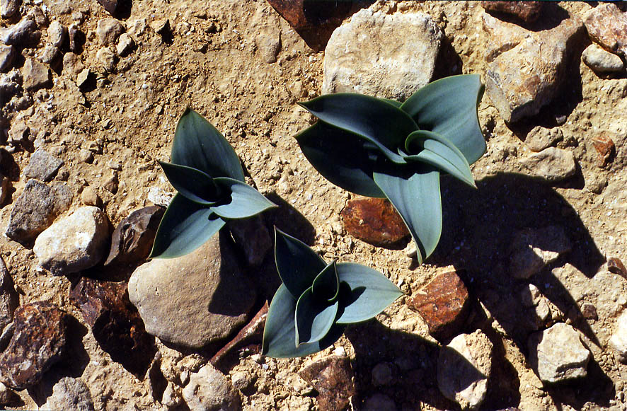 Smooth dark green leaves of Mediterranean squill...College at Sde Boker. The Middle East