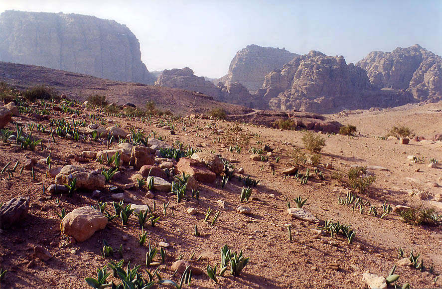 Leaves of squill (Hebrew name Hatzav) near Royal Tombs. Petra, Jordan