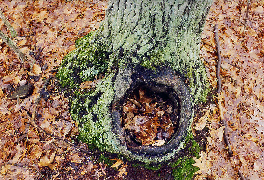 A tree at Tattapanum Trail 1 mile north-east from Fall River. Massachusetts