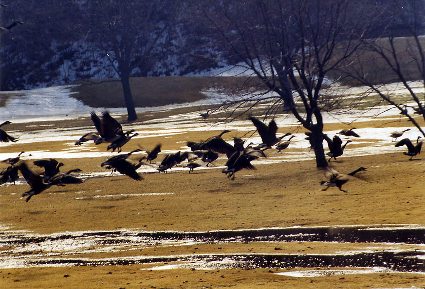 Canada geese over a golf course in northern Fall River. Massachusetts