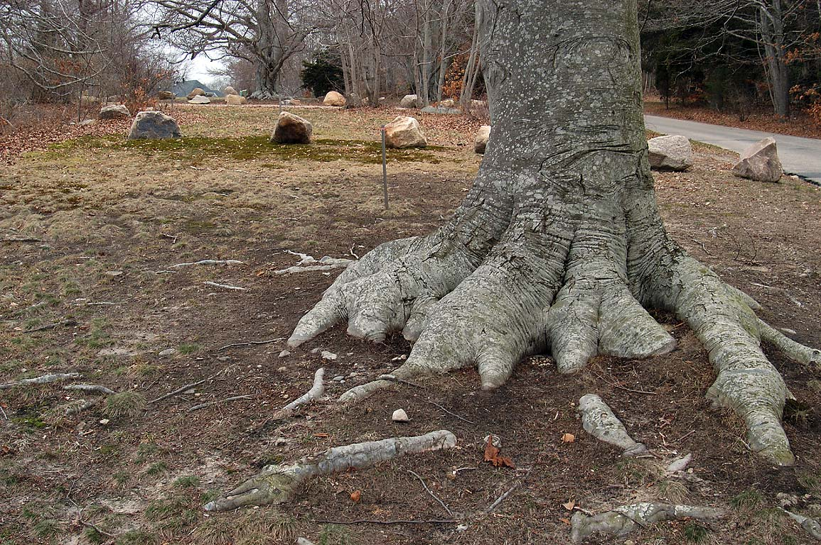 A trunk of a beech tree at Highfield Dr. in Falmouth, Cape Cod, Massachusetts