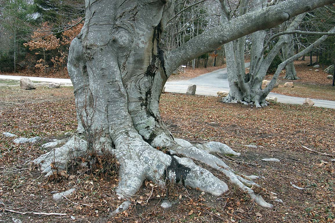 Trunks of beech trees at Highfield Dr. in Falmouth, Cape Cod, Massachusetts