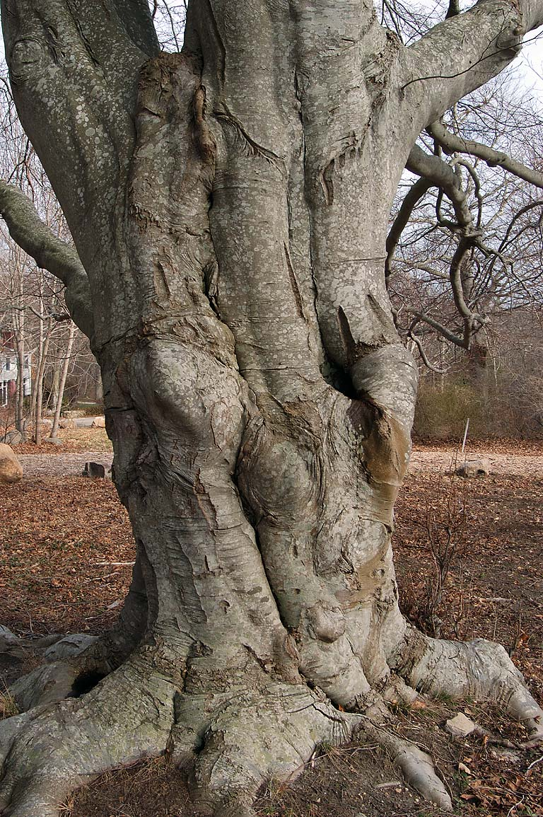 A trunk of a big beech tree at Highfield Dr. in Falmouth, Cape Cod, Massachusetts