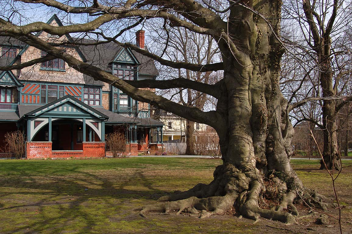 A mansion and a big copper beech at Bellevue Ave.. Newport, Rhode Island