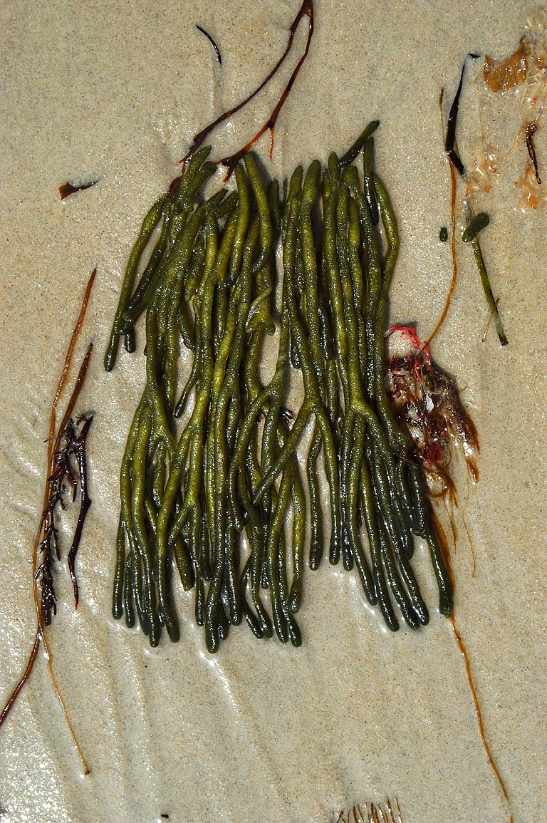 Codium fragile (Deadman's Fingers) on Little...Pond in south Dartmouth. Massachusetts