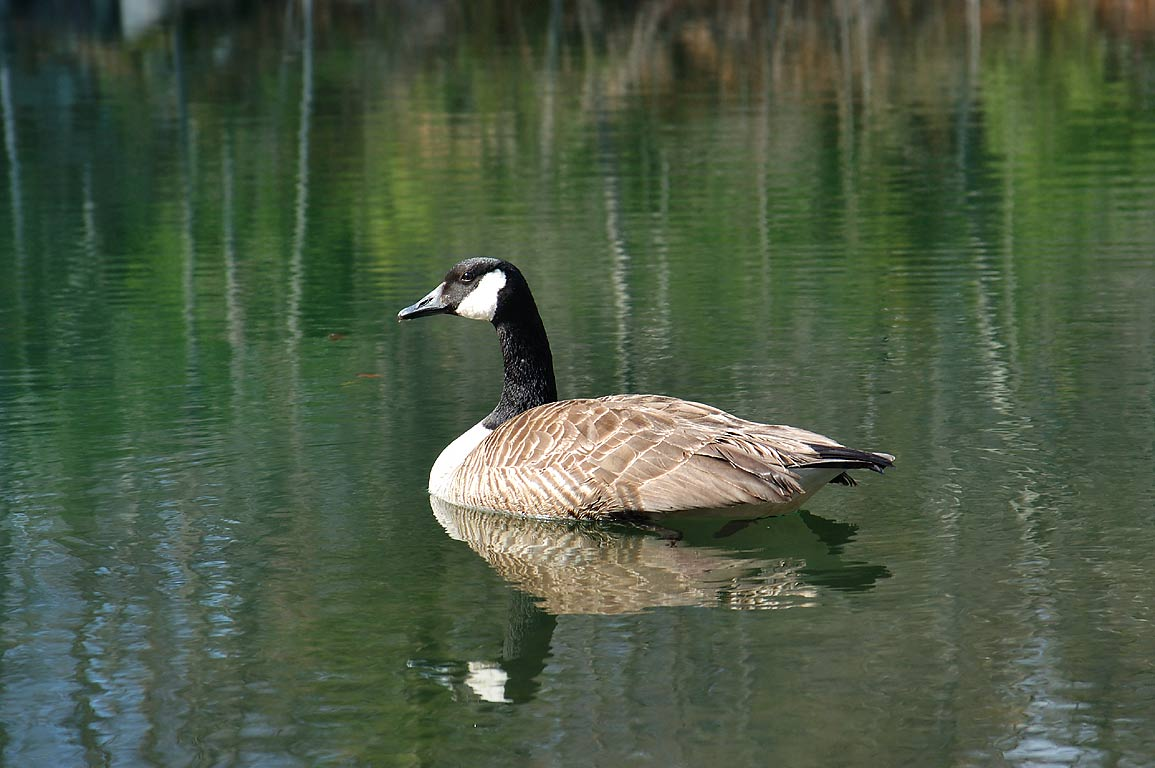 A Canada goose in a pond opposite to the Ledge...Fall River State Forest. Massachusetts