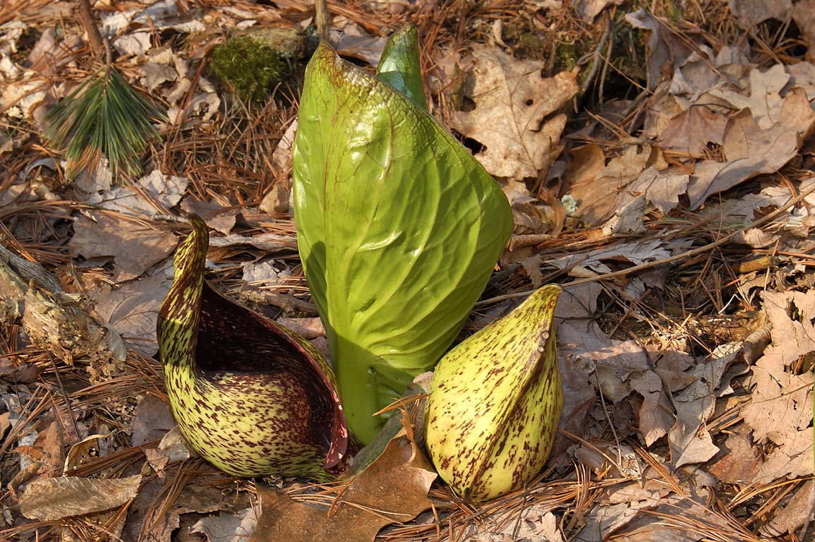 Skunk Cabbage flowers in a marsh near Upper Ledge...Fall River State Forest. Massachusetts