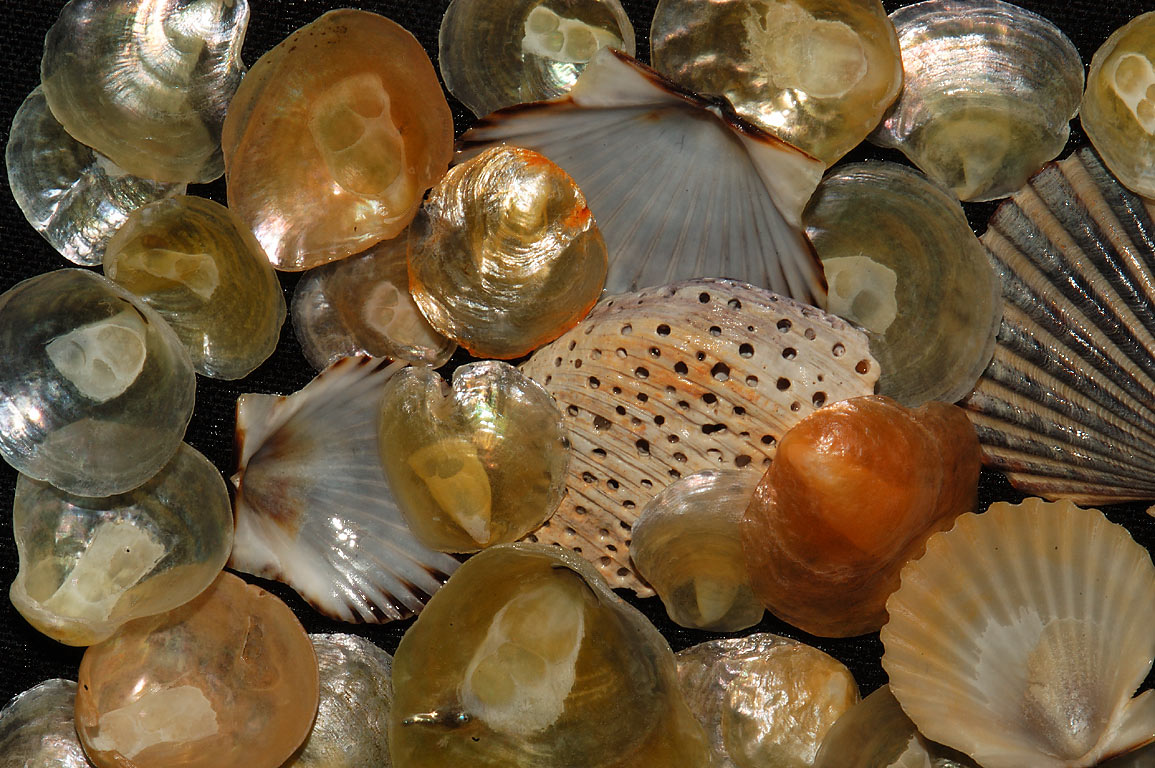 Shells (mostly Jingle Shells) collected on Little Beach in south Dartmouth Massachusetts