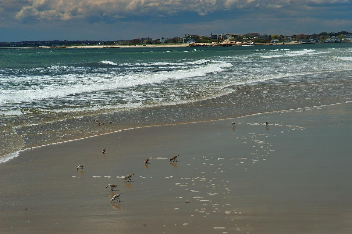 Sanderling birds on Horseneck Beach. Westport, Massachusetts