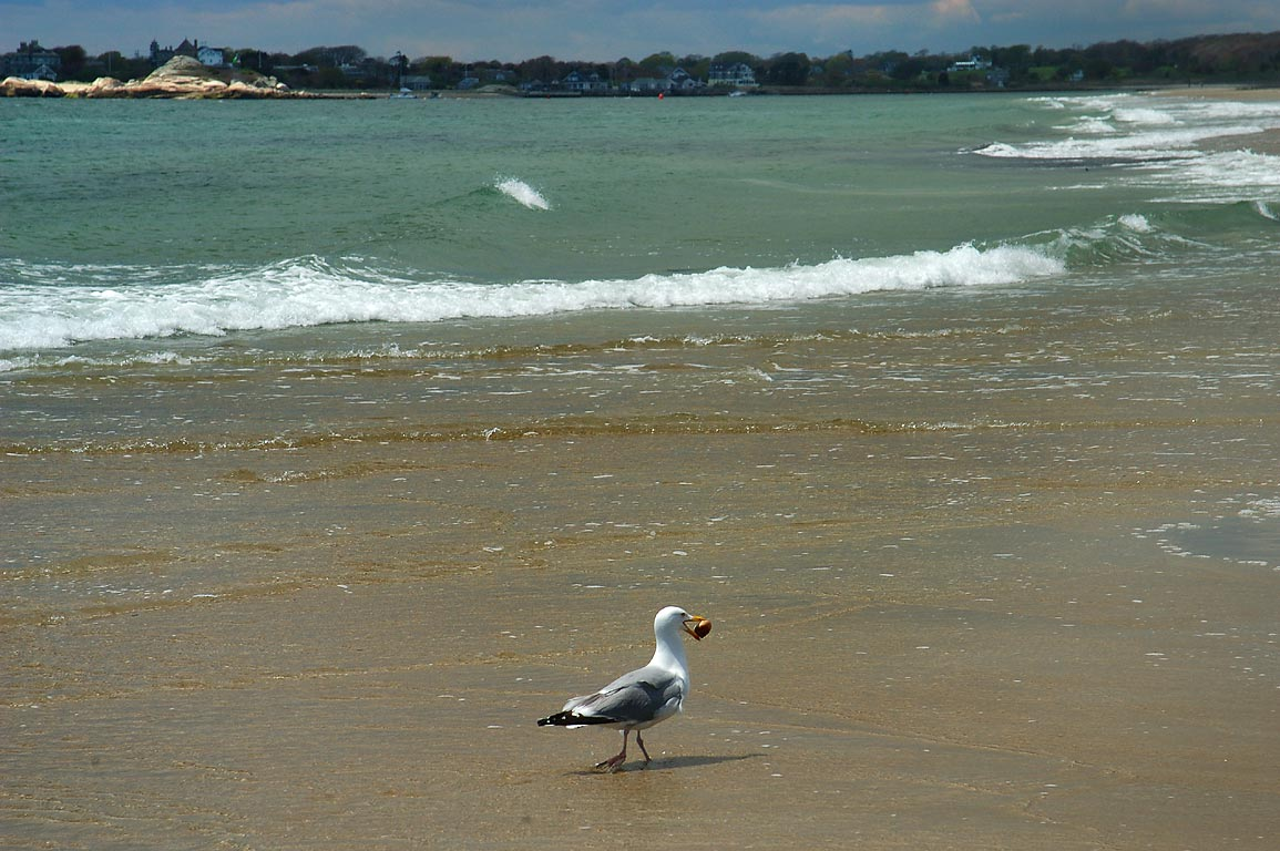 A gull with a shell on Horseneck Beach. Westport, Massachusetts