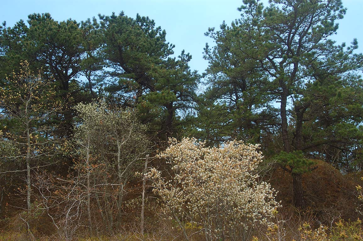 A forest on dunes of Horseneck Beach. Westport, Massachusetts