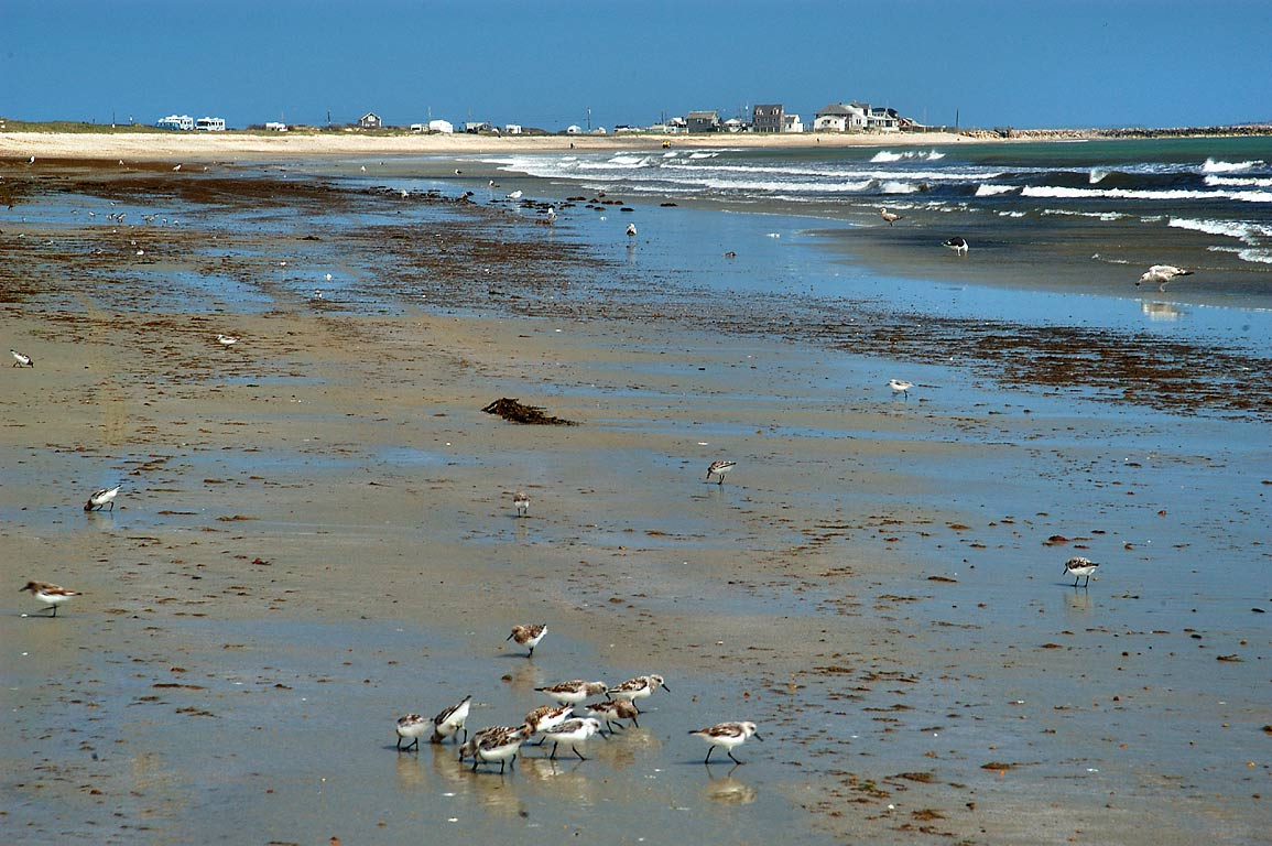Sanderling birds wading on Horseneck Beach. Westport, Massachusetts