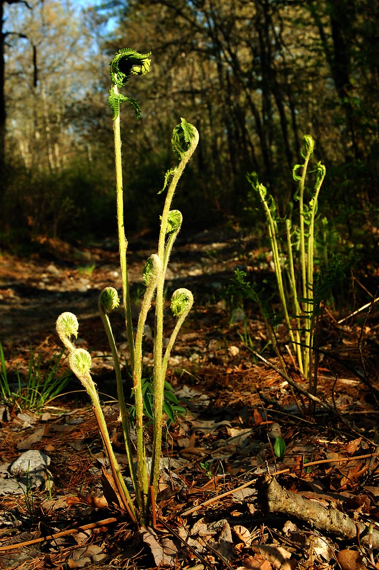 Fiddleheads on Whitetail Loop trail in Freetown/Fall River State Forest. Massachusetts