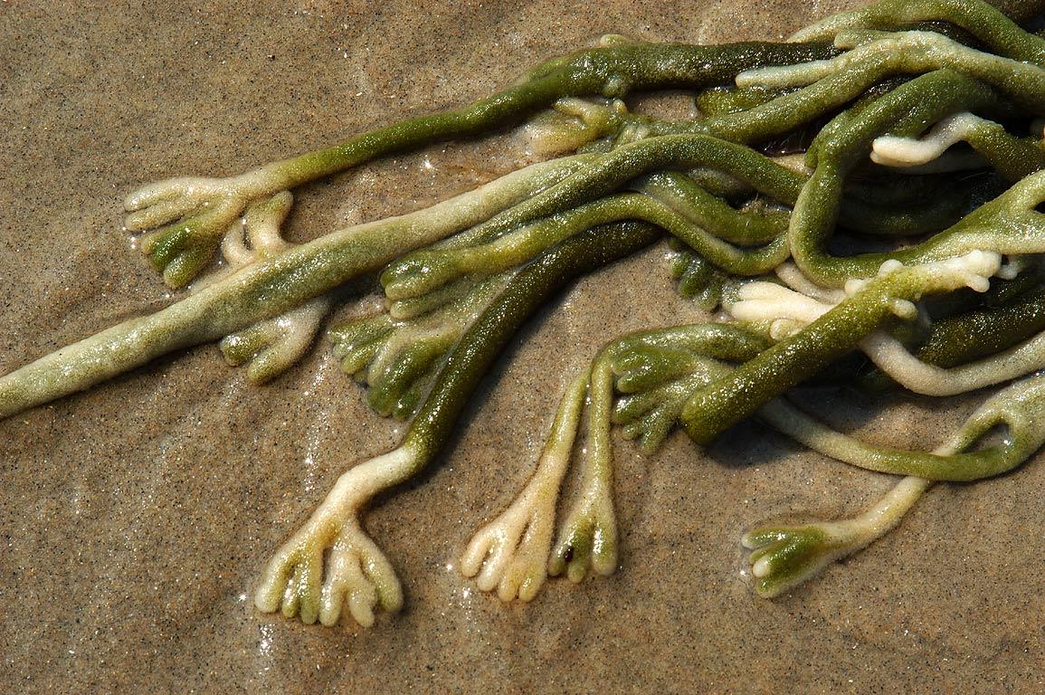 Codium fragile (Deadman's Fingers) on a beach near Howland Rd. in Acoaxet. Massachusetts