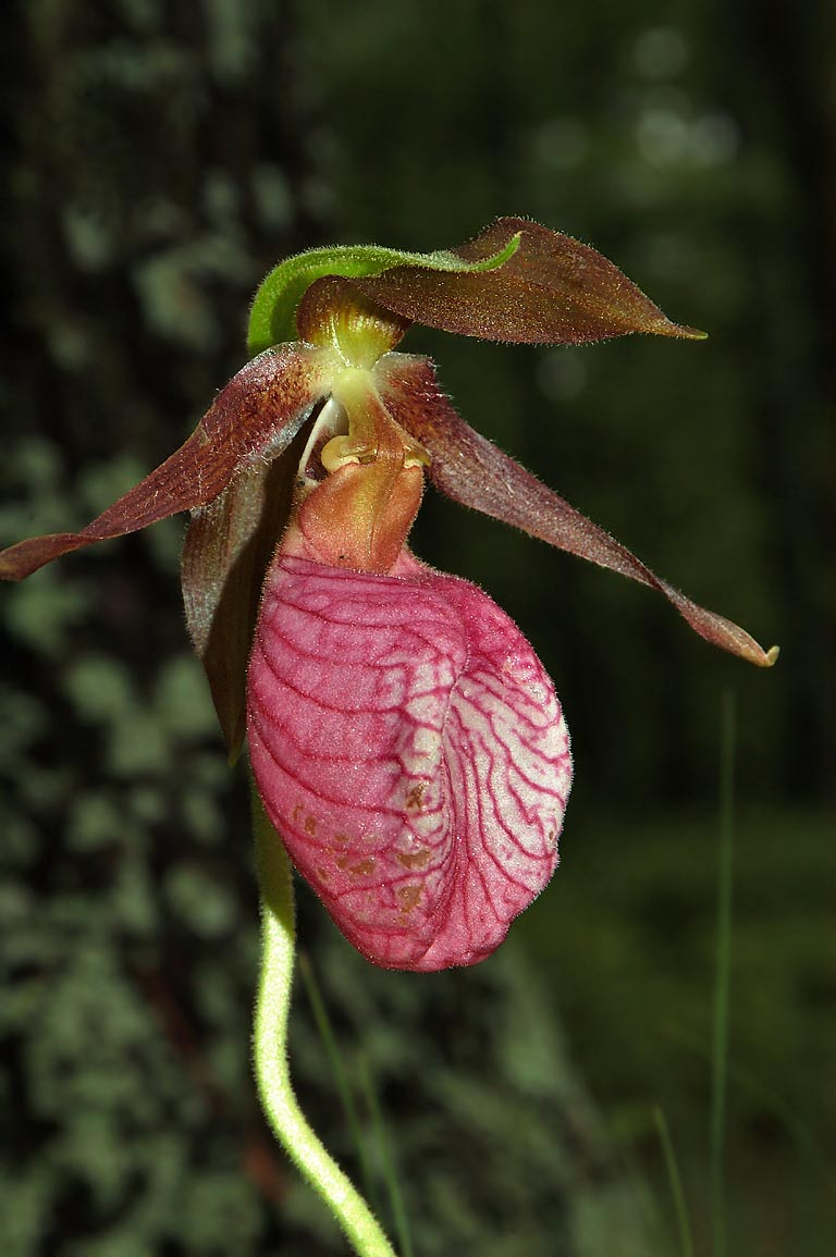 A pink ladyslipper flower in Massasoit State Park. East Taunton, Massachusetts