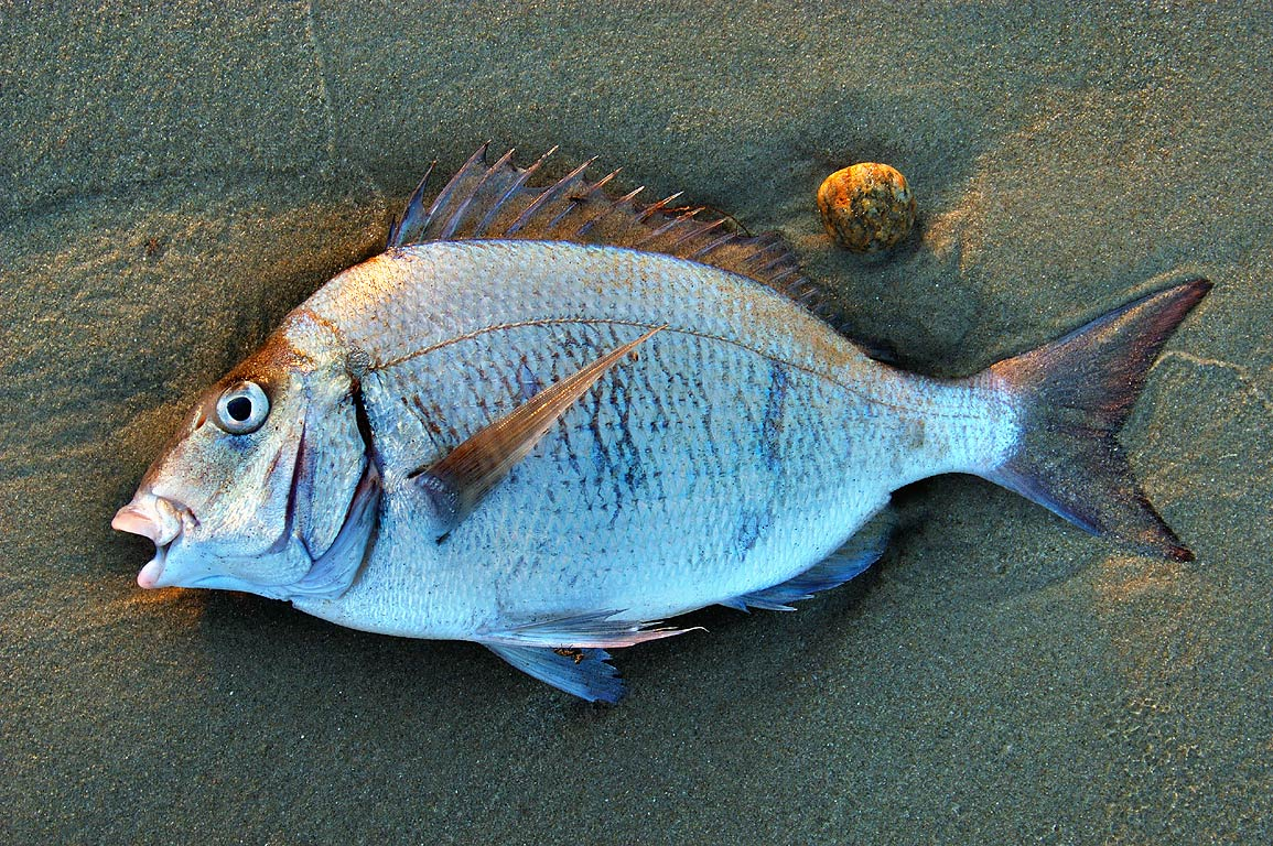 A fish on Horseneck Beach at sunset. Westport, Massachusetts