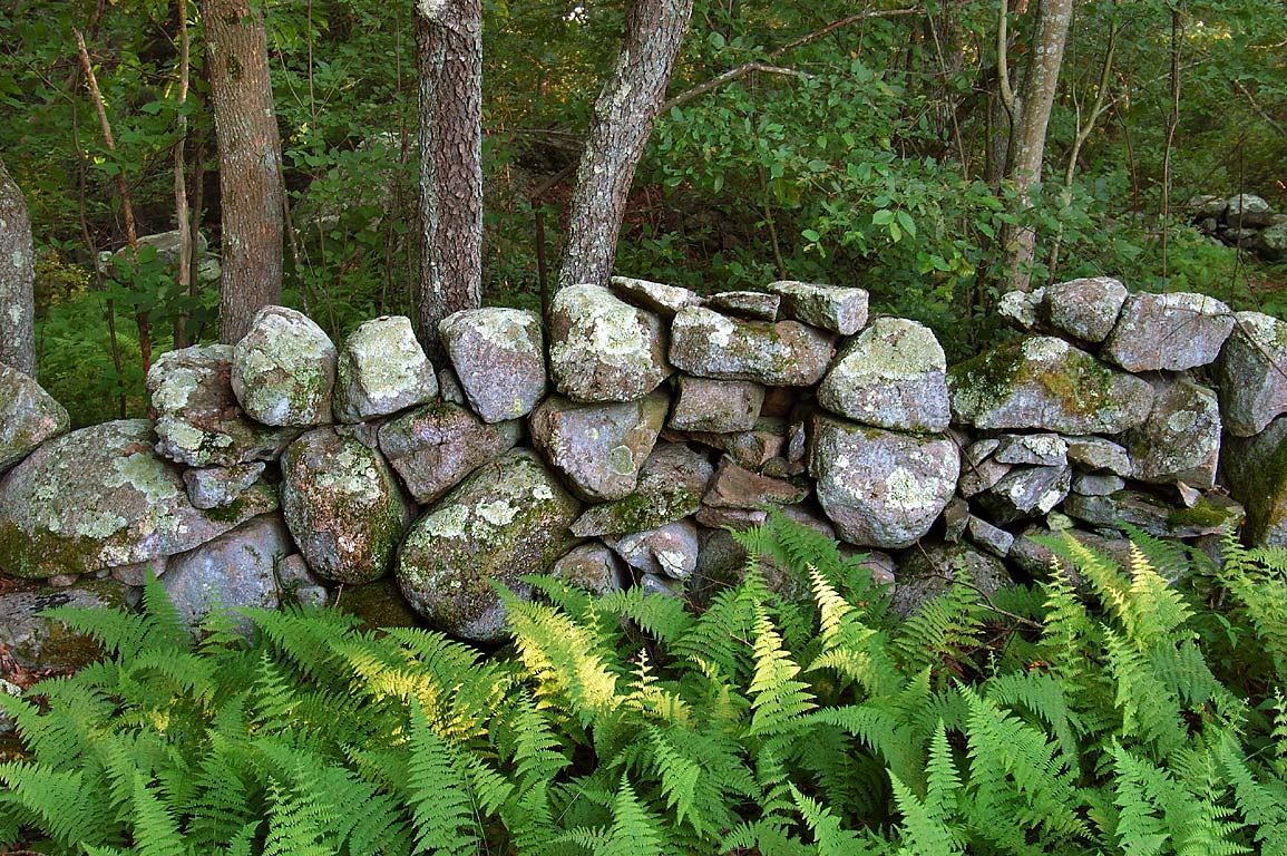 Abandoned stone wall (typical for this part of...Fall River State Forest. Massachusetts