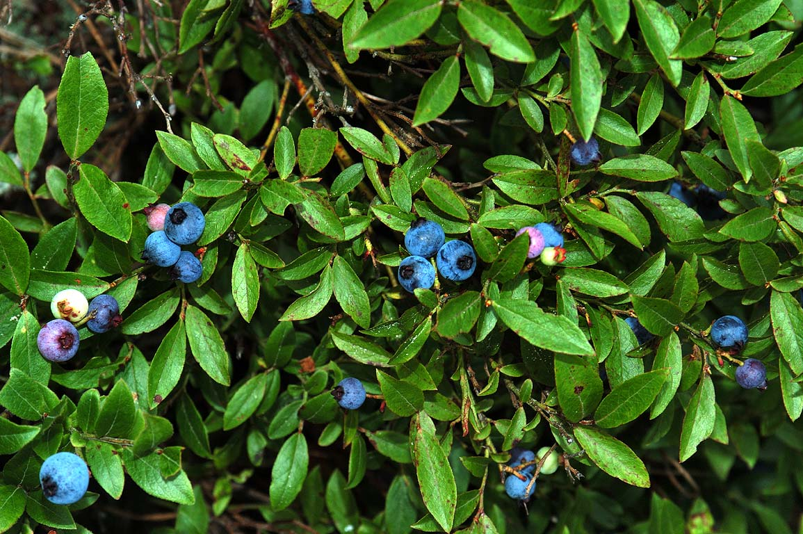 Blueberry from a trail near Three Cornered Pond...Standish State Forest. Massachusetts