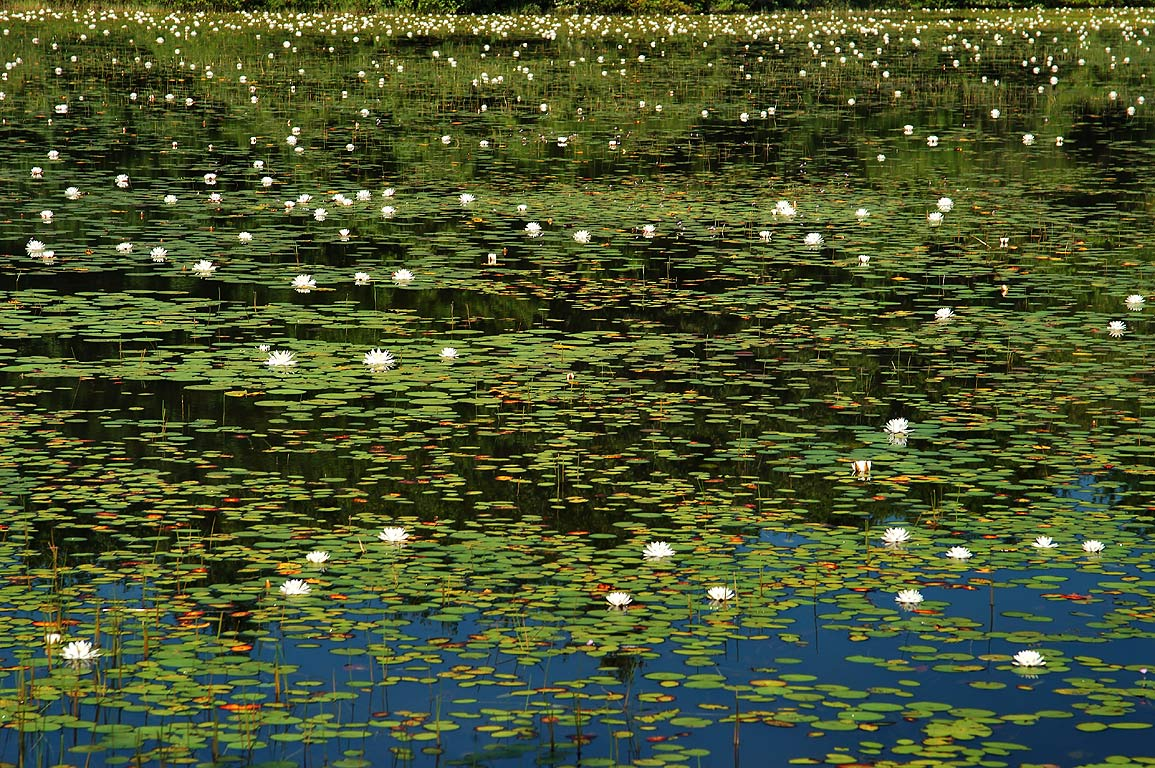 Water lilies in south part of Leach Pond in Borderland State Park. Massachusetts