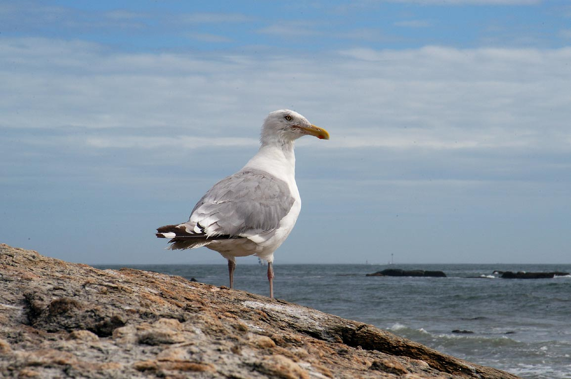 A gull on a beach near Atlantic Ave. west from Acoaxet. Massachusetts