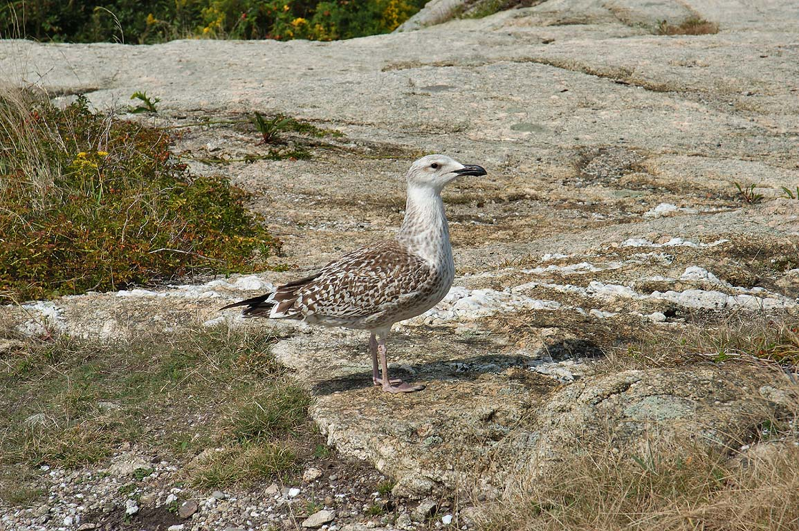 A gull on a cliff near Waves Mansion at the end of Bellevue Ave. in Newport. Rhode Island