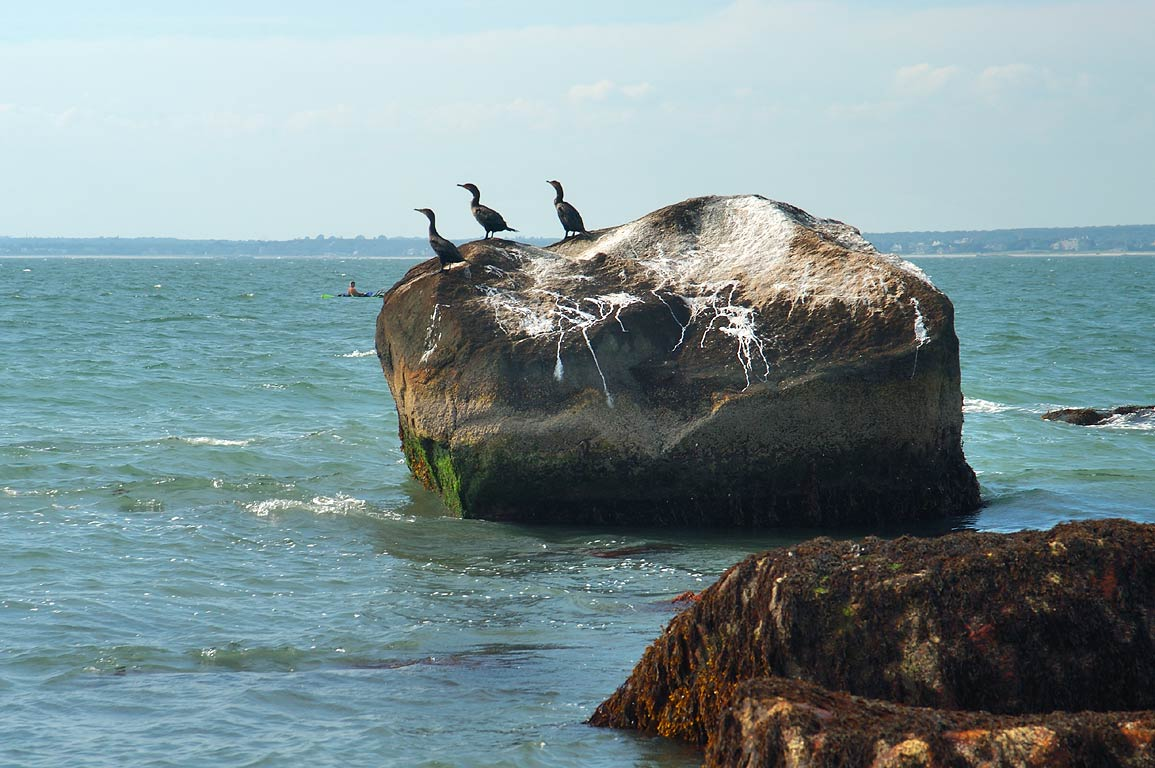 Double-crested cormorants in Atlantic Ocean from Gooseberry point. Westport, Massachusetts