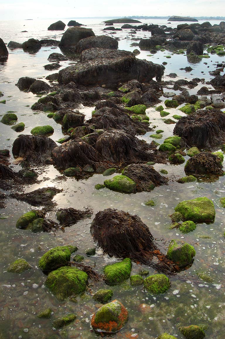 Exposed seaweeds at low tide near Acoaxet. Massachusetts
