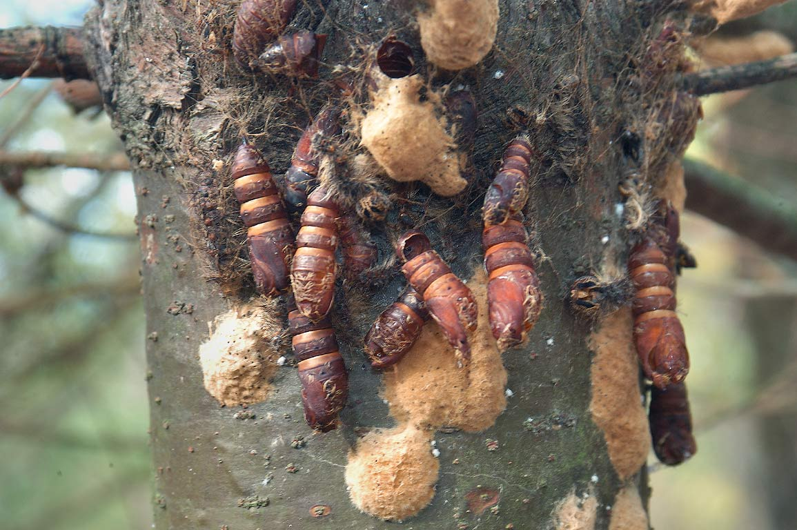 Pupae on bark of a pine at Breakneck Trail in...Fall River State Forest. Massachusetts