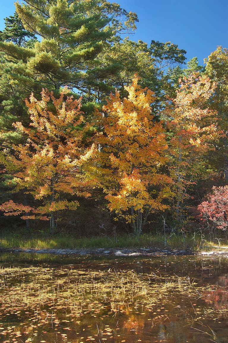 New Long Pond in Myles Standish State Forest. Massachusetts