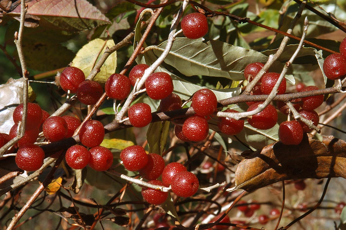 Autumn olive berries (Elaeagnus umbellata) on...State Park. Uxbridge, Massachusetts