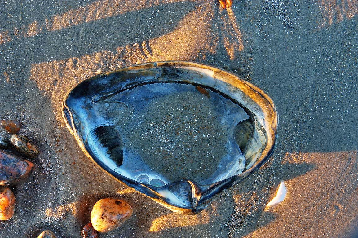 A hard shell of Northern Quahog (Mercenaria...Beach. Westport, Massachusetts