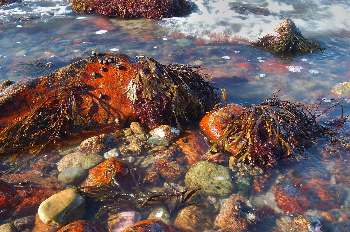 Rockweed and spongeweed in Gooseberry Point at low tide. Westport, Massachusetts