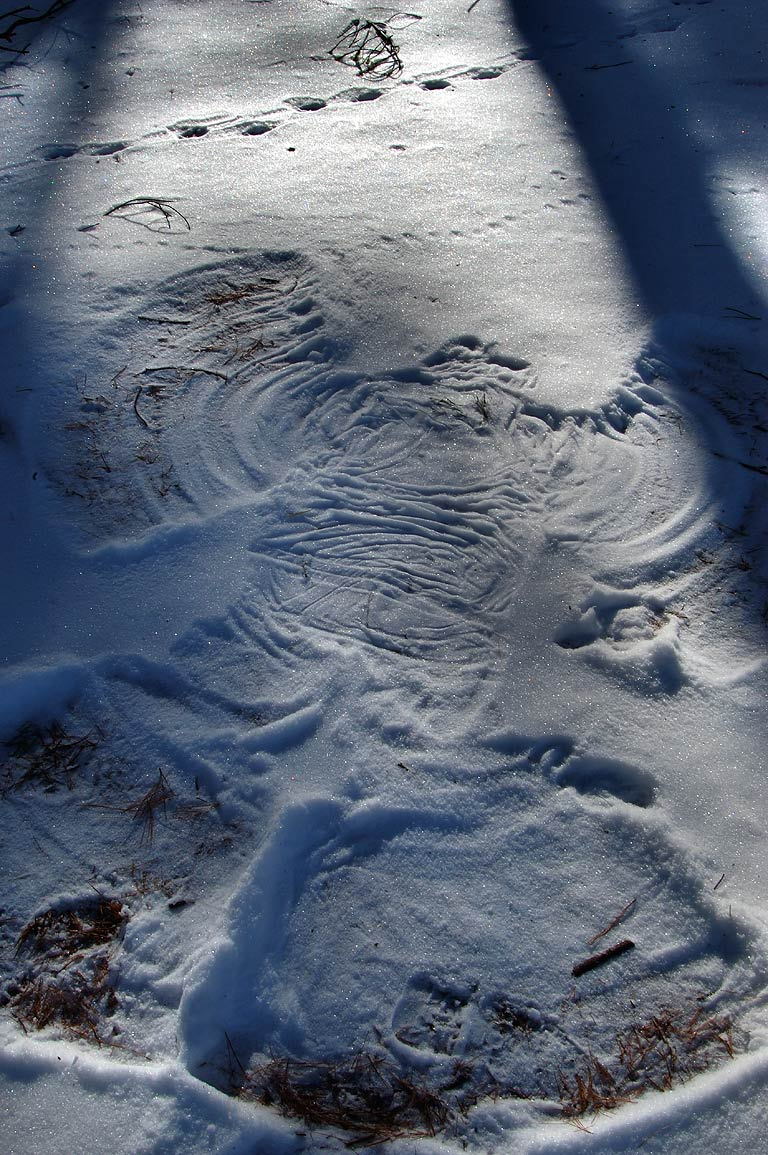 "Snow angel"" near a trail around East Head...Standish State Forest. Massachusetts"