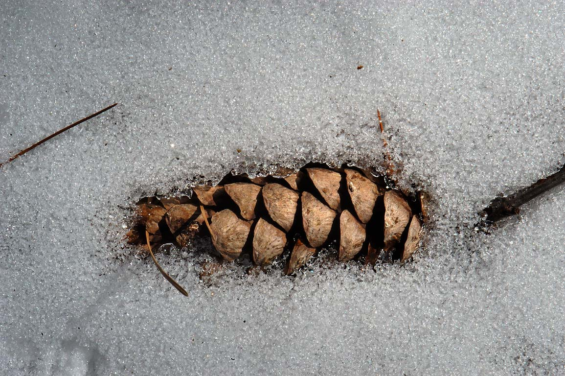 A cone in snow near a trail around East Head...Standish State Forest. Massachusetts
