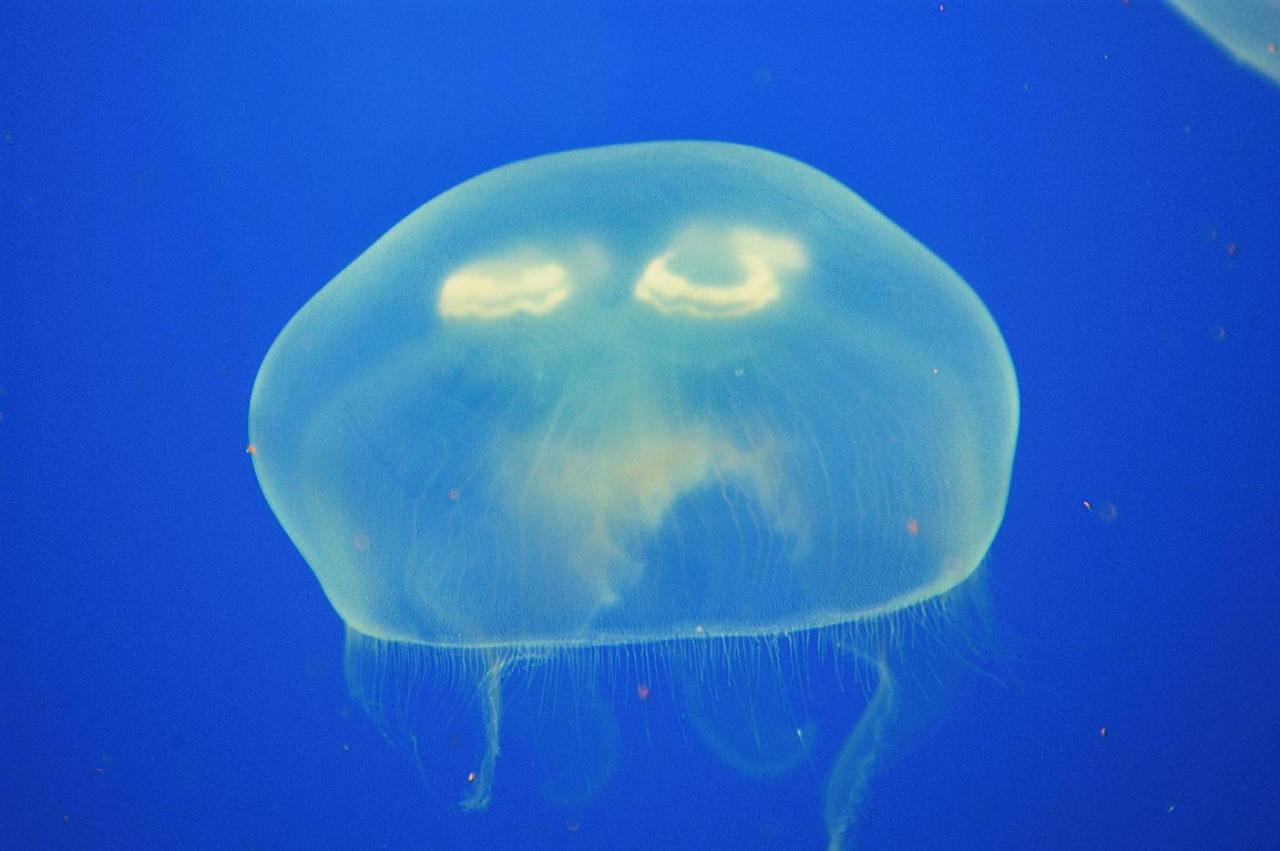 A jellyfish in New England Aquarium. Boston, Massachusetts