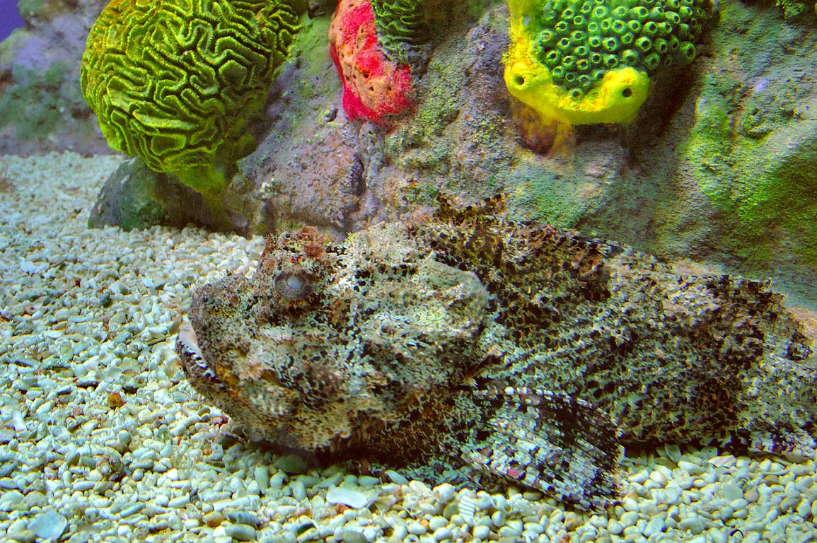 Scorpion fish in New England Aquarium. Boston, Massachusetts