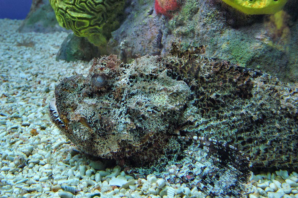 Photo 380 25 Scorpion Fish In New England Aquarium